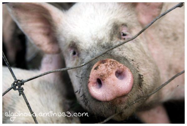 Wolsley Saskatchewan  Pig
