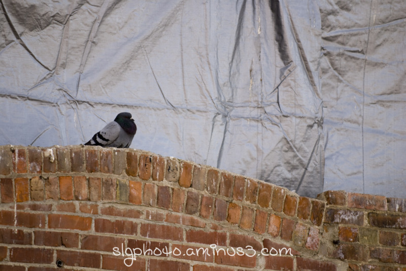 MooseJaw Saskatchewan Winter Pigeon