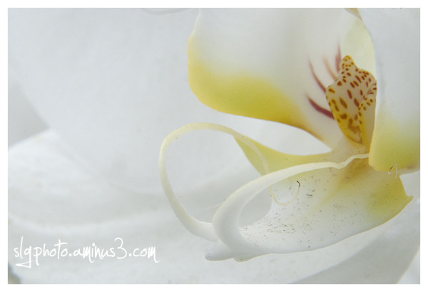 Orchid white macro close-up