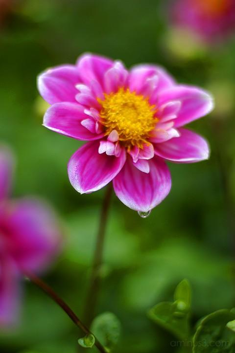 Delicate Pink Dahlia