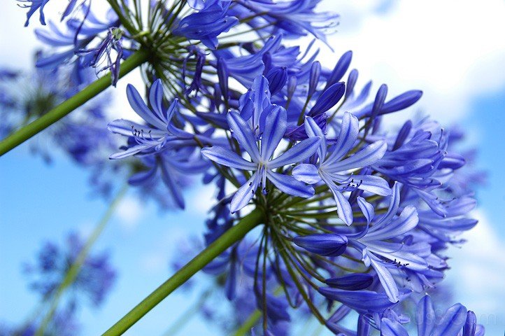 agapanthus, African Lily, Benno White