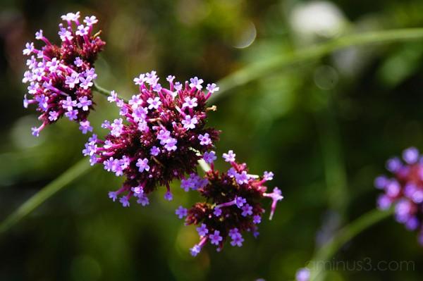 Verbena Bonariensis, Benno White, photoblog