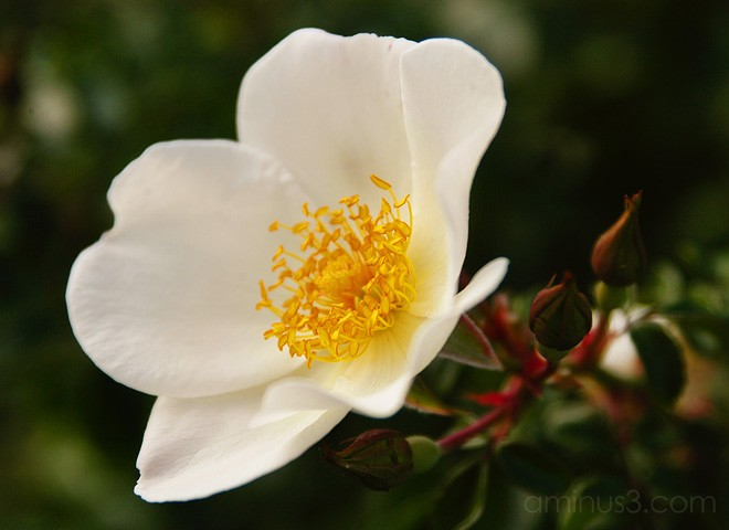 Sally Holmes rose, benno white, flower photos