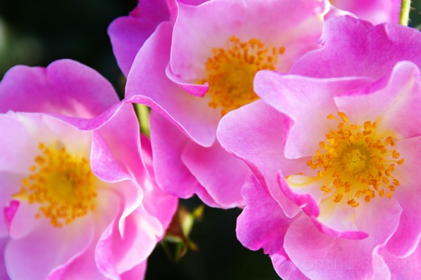 pink shrub rose, benno white, flower photographer