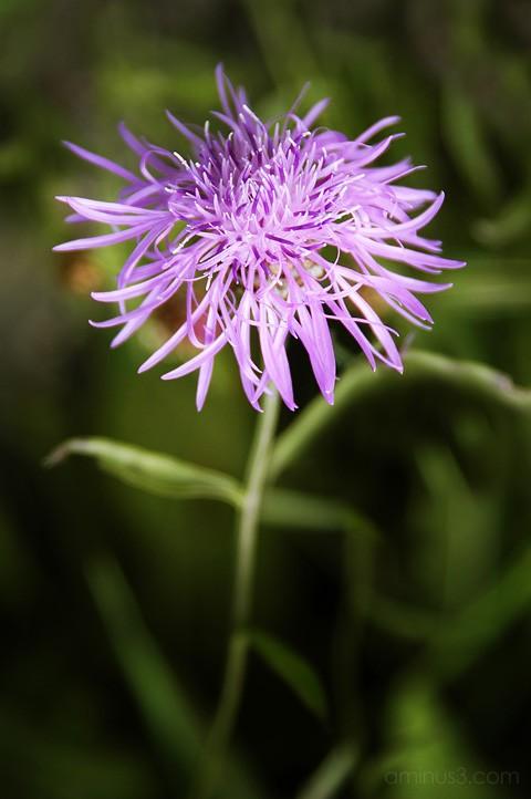 Centaurea, Tyrol Knapweed, benno white