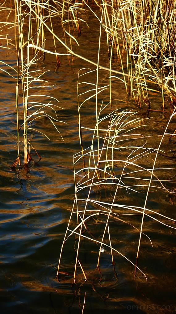 waters edge, grass, bullrush, benno white