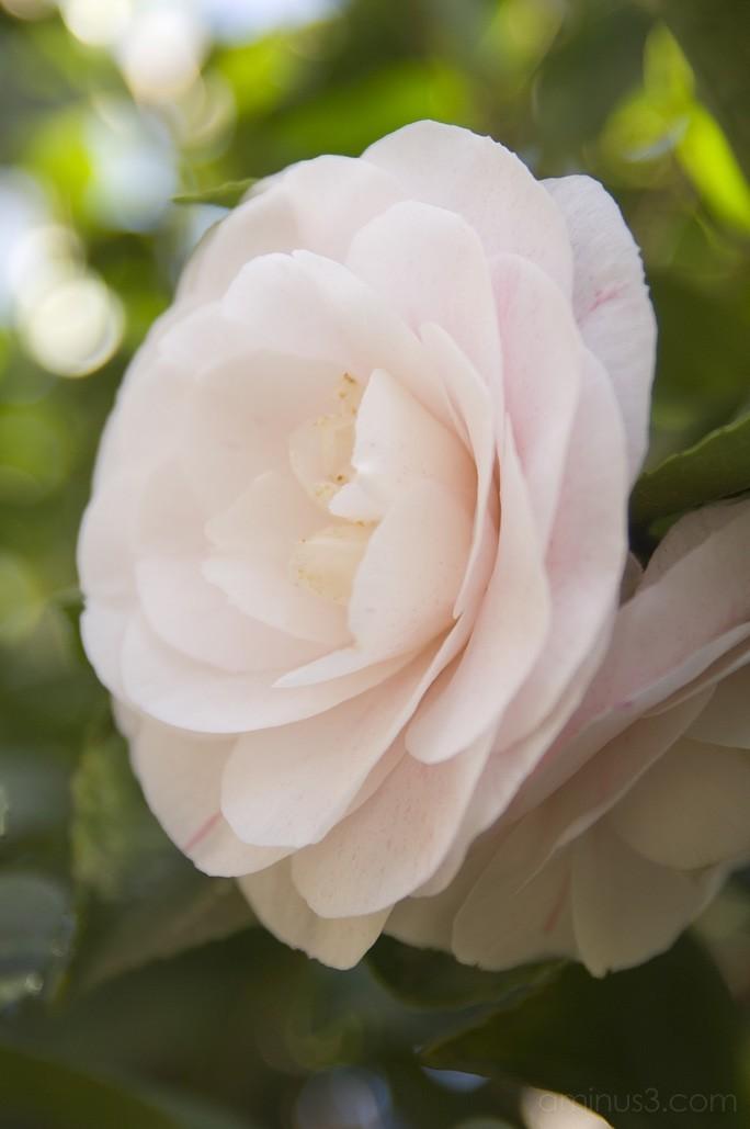 Camellia Japonica Contessa Lavinia Maggi Benno