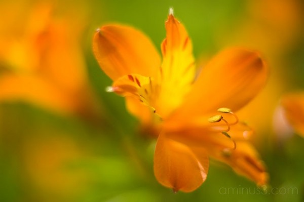 Alstroemeria, benno white, macro, depth of field