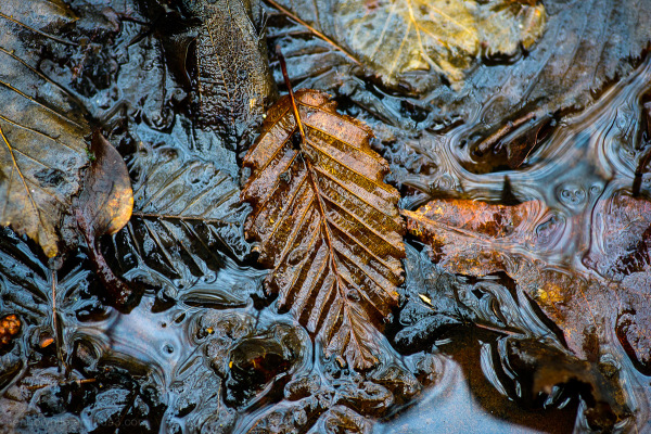 Beech Leaf in puddle