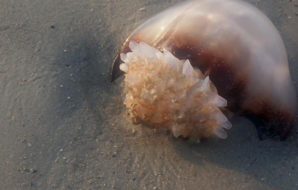 Tybee Island Jelly Fish