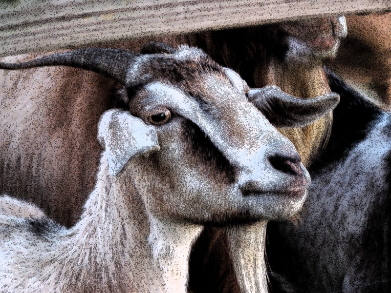 Portrait of a Goat, Loris, SC