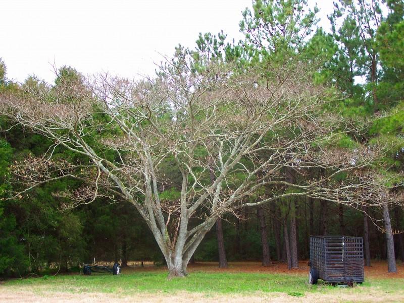 Old South Carolina Tree
