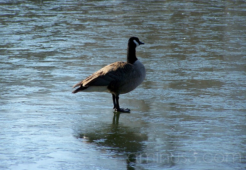 Canada Goose Lake Elkhorn Columbia MD