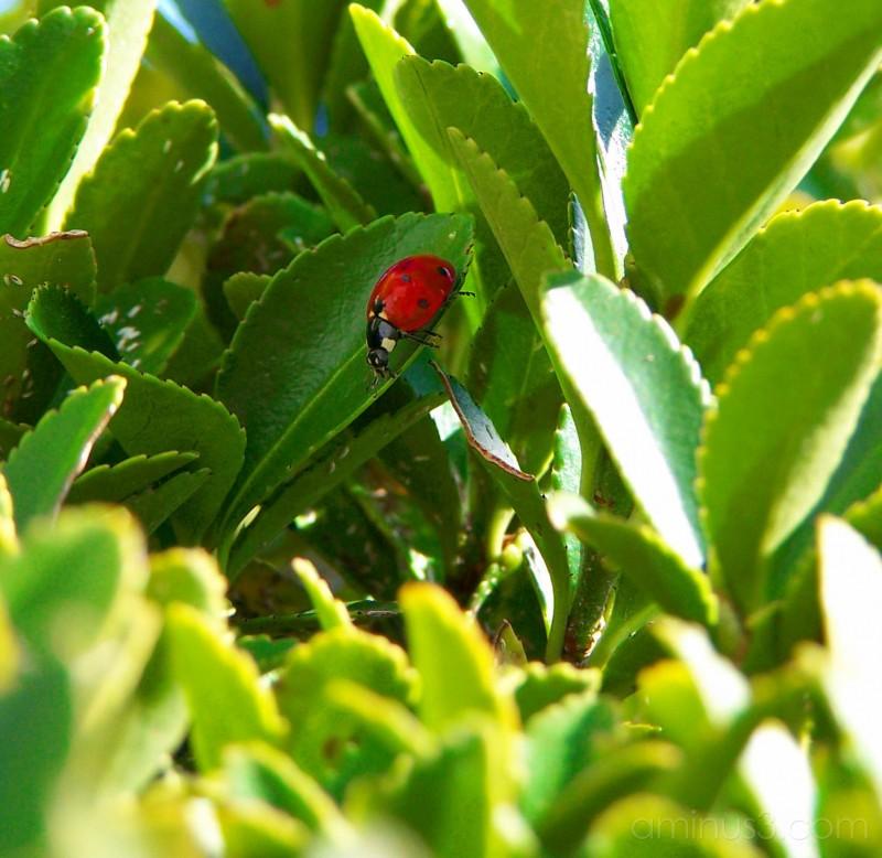 The Ladybug's closeup