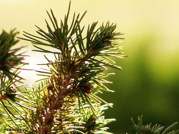 Evergreen Fir