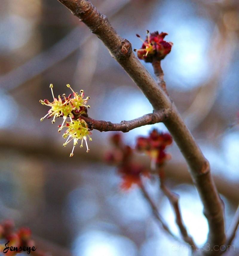 Budding Cherry Blossom