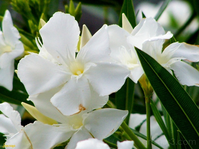 White oleander plant nature photos jenseye white oleander mightylinksfo