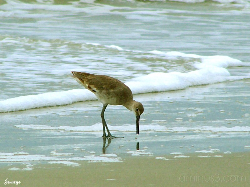 Sandpiper Tybee Island
