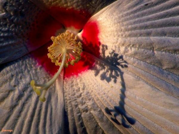 Pinot Grigio Hibiscus