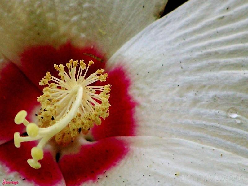 Pinot Grigio Hibiscus Macro Shot