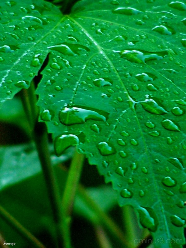 Rain Drops on Hibiscus Leaf