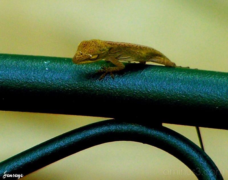 Anole Lizard (baby)