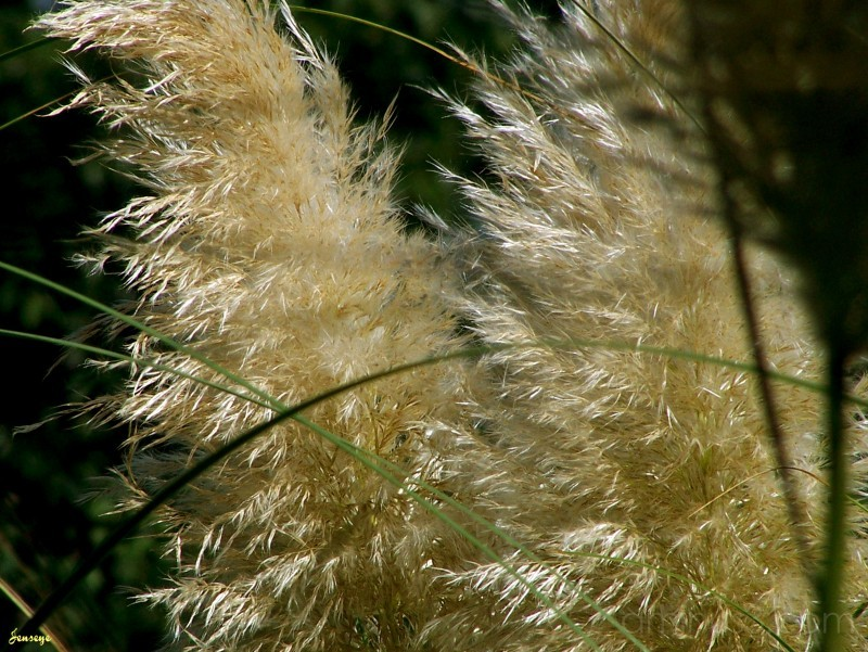 Pampas Grass Webb Bridge Park GA