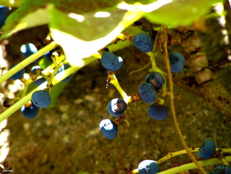 Grape vines webb bridge park ga