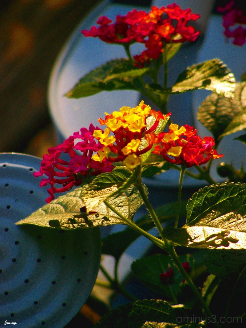 Lantana Flowers and Watering Can