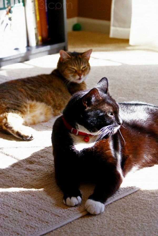 Tuxedo and Tabby Cats Milkie winnie