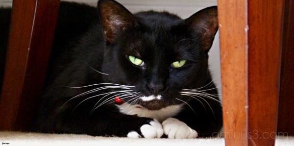 Tuxedo Cat Milkie