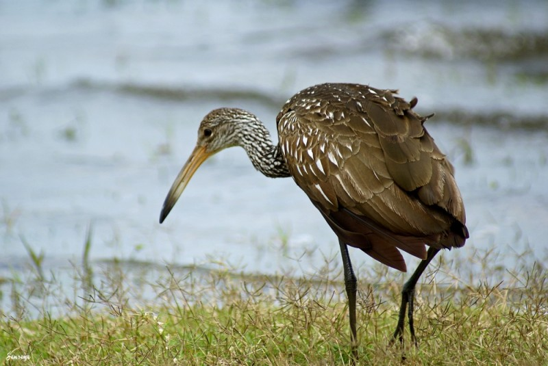 Limpkin at the River