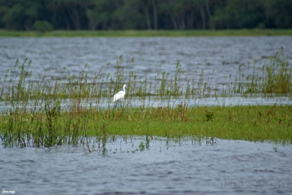 White Crane and Myakka River