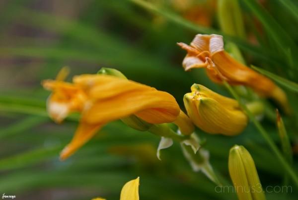 Daylily Prebloom