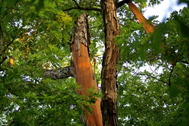White Oak Tree Struck by Lightning