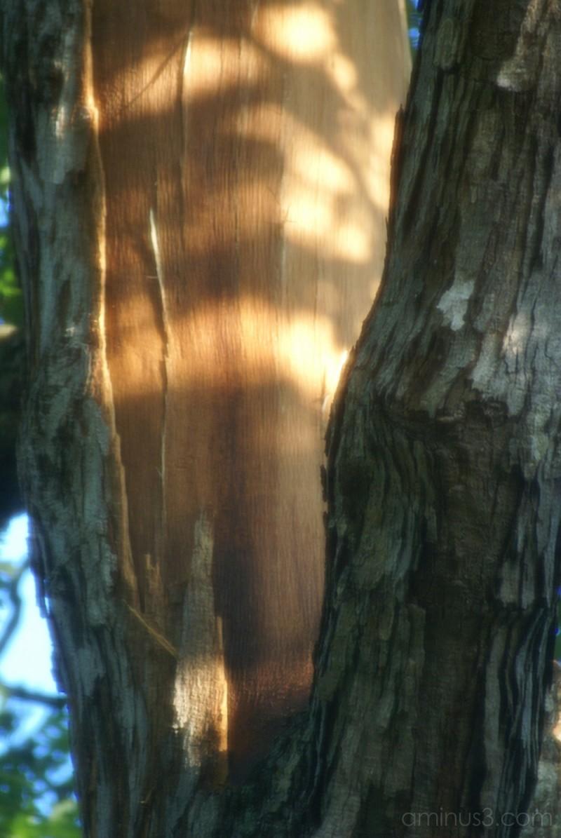 Lightning Strike on Oak Tree