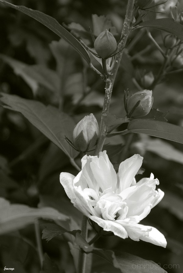 Black and White Double Whtie Hibiscus