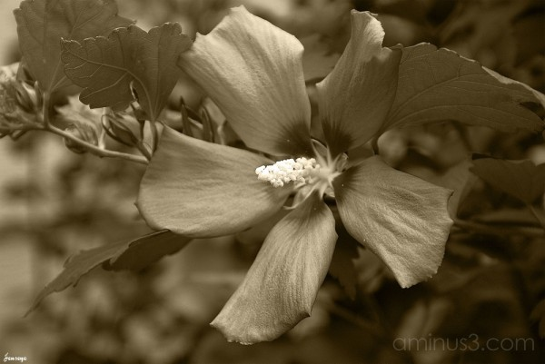 Sepia Hibiscus