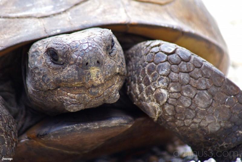 Gopher Turtle Florida