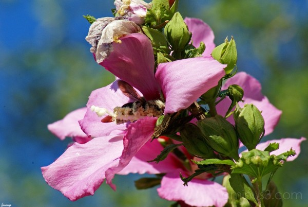 Bee and Hibiscus