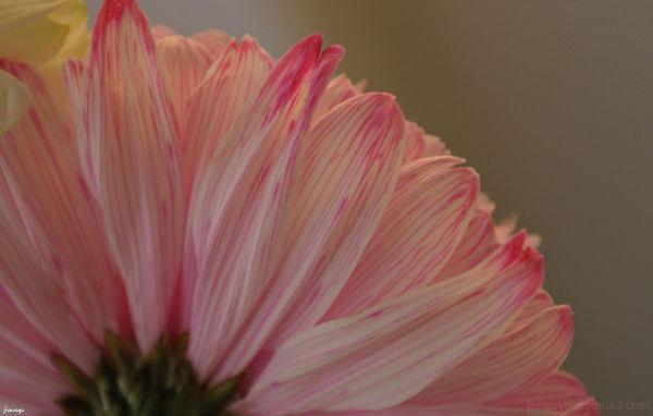 Pink Pom Pom Flower
