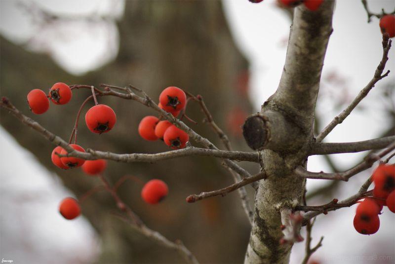 Winter Berry Tree