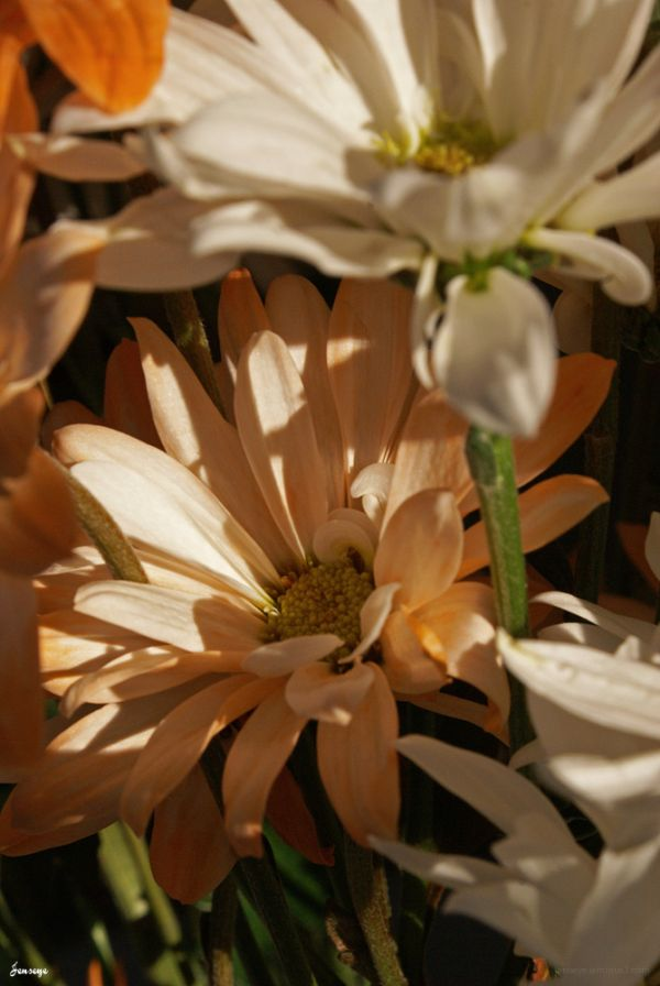 Orange and White Daisies