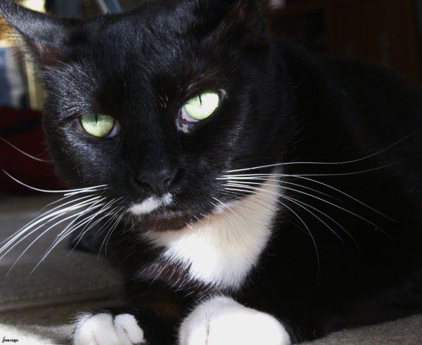 Black and White Tuxedo Cat Milkie
