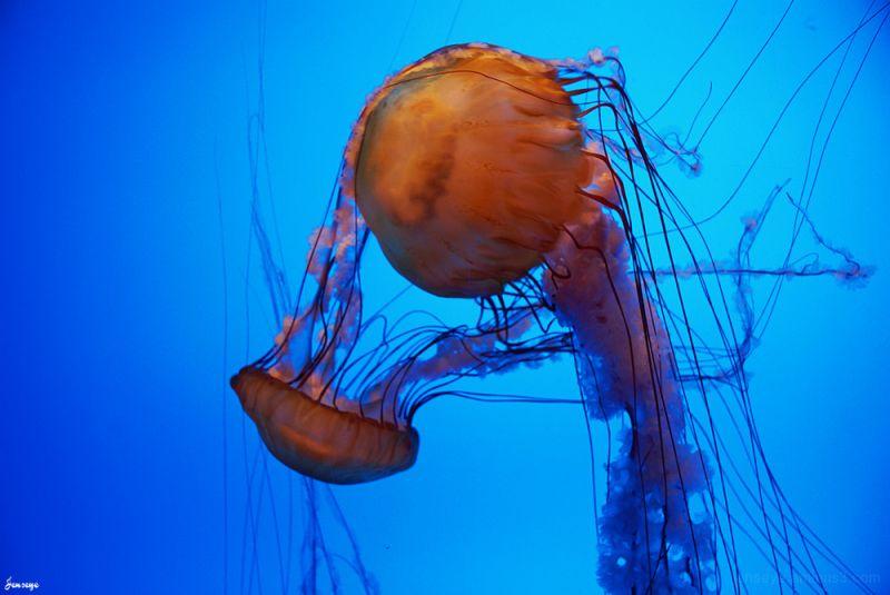 Sea Nettle Jellyfish Georgia Aquarium Atlanta GA