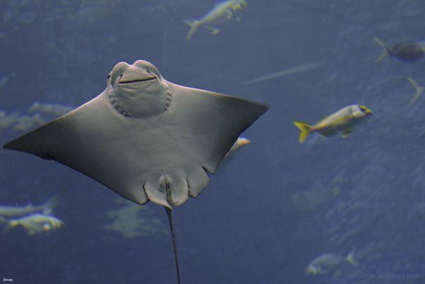 Sting Ray Georgia Aquarium Atlanta Georgia