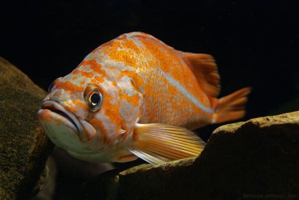 Orange and White Bass Type Fish