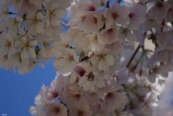 Cherry Blossoms Spring Atlanta Georgia