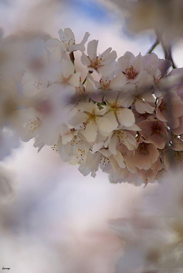 Cherry Blossom Tree Blooms Atlanta Georgia