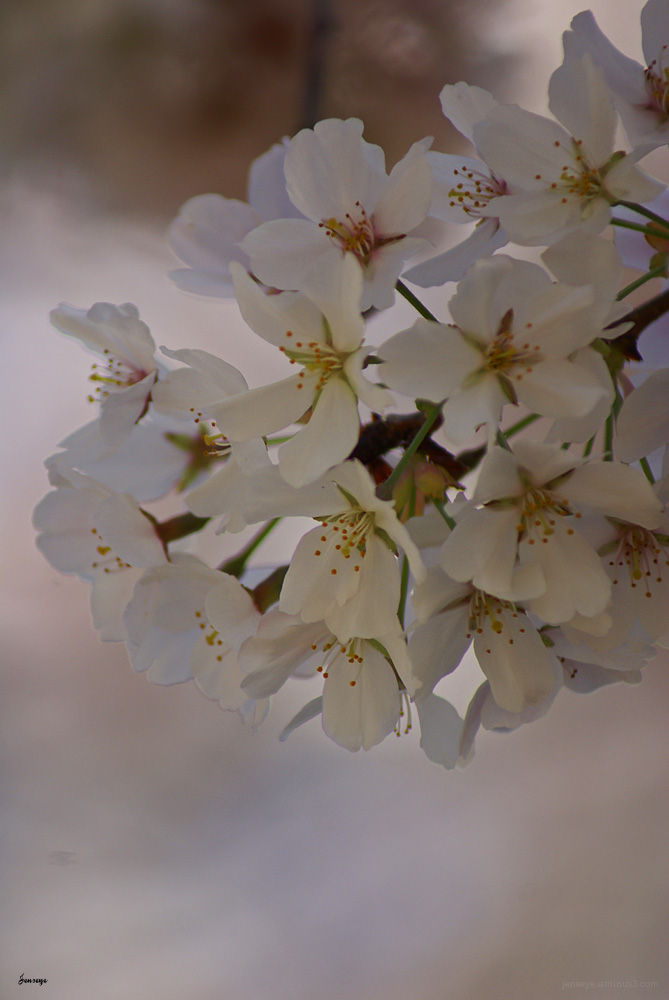 Spring Cherry Blossoms Tree Blooms